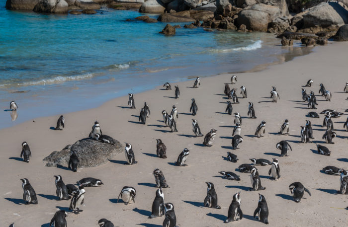 Pinguin Colony in South Africa